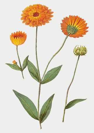 Vintage marigold flower illustration in vector Фото со стока - 125376343