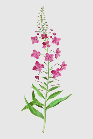 Vintage fireweed flower illustration in vector Illusztráció