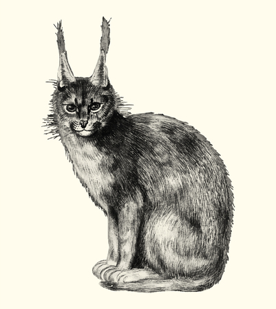 Vintage lynx illustration in vector