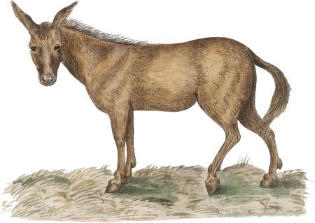 Vintage mule illustration in vector 向量圖像
