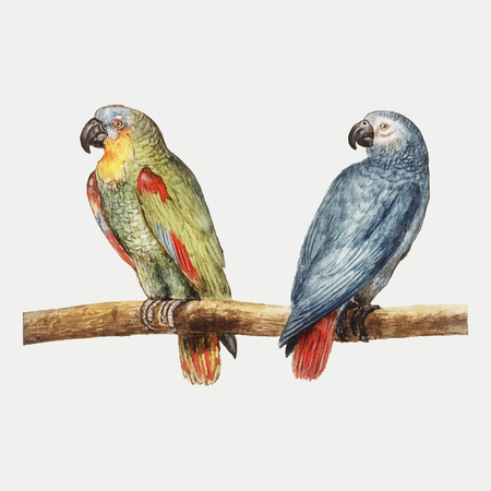 Vintage parrot and gray red tailed parrot illustration vector Illustration