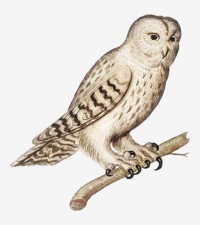 Vintage tawny owl illustration in vector Illustration