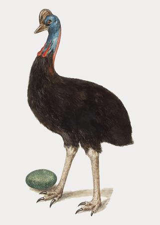 Vector de ilustración de pájaro casuario vintage