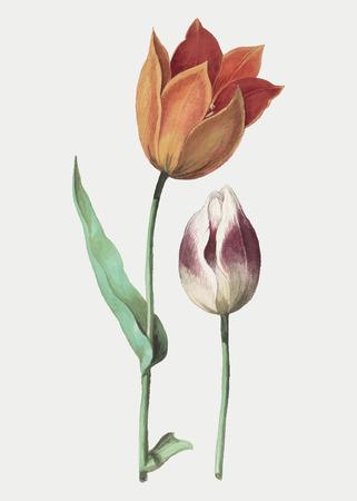 Ilustración de flor de tulipán vintage en vector
