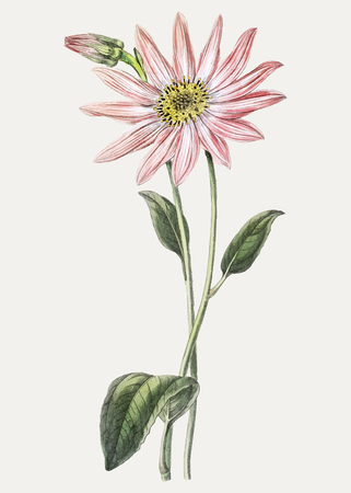 Vintage Mr. Dickson's echinacea branch for decoration 写真素材 - 125376411