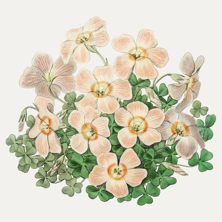 Vintage Piotta's oxalis flower branch for decoration Illustration