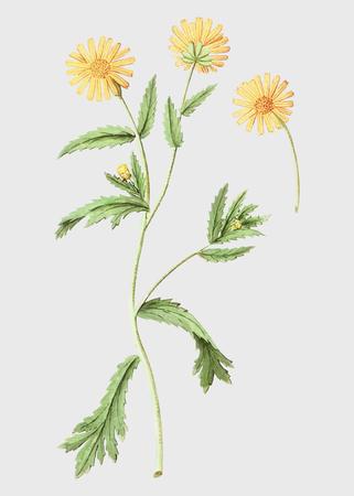 Vintage chrysanths flower illustration in vector