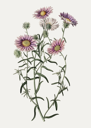 Vintage hoary diplopappus flower branch for decoration Иллюстрация