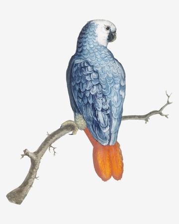 Vector de ilustración de pájaro loro de cola roja gris vintage Ilustración de vector