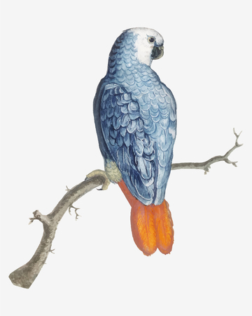 Vintage gray red tailed parrot bird illustration vector