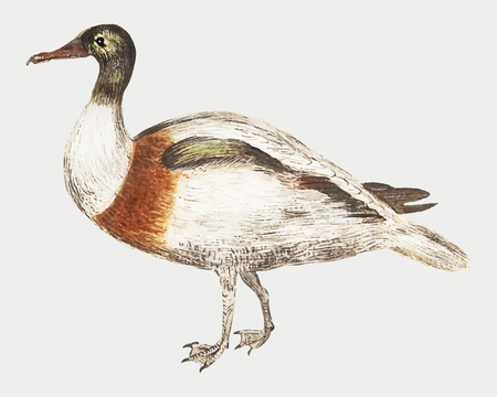 Vintage Indian runner duck illustration vector Illusztráció