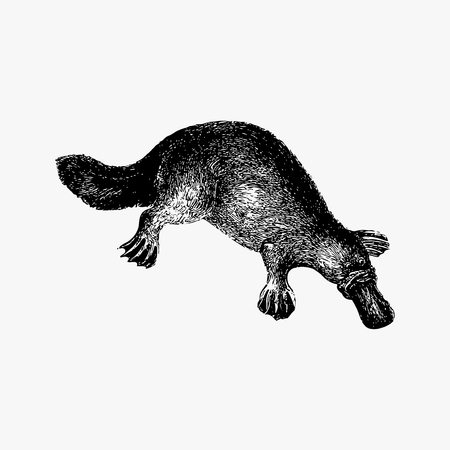 Drawing of duck-billed platypus