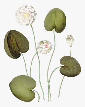 Vintage water lily flower illustration in vector