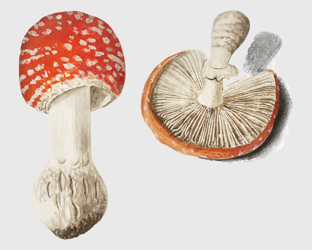 Vintage fly agaric mushroom illustration vector 일러스트