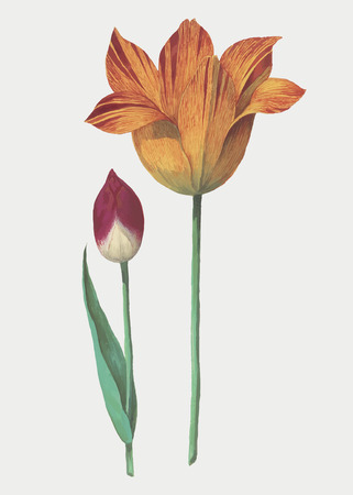 Vintage tulip flower illustration in vector Stok Fotoğraf - 125376470