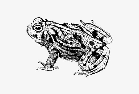 Drawing of great plains toad Иллюстрация