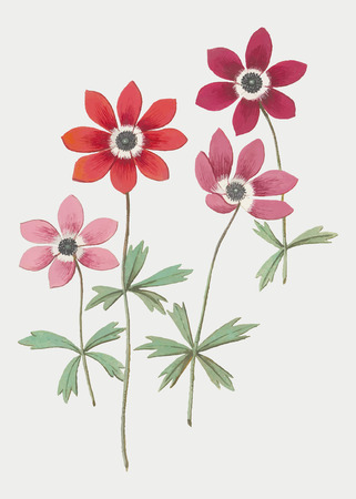 Vintage anemone flower illustration in vector Reklamní fotografie - 125376500