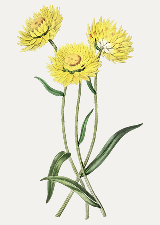 Vintage two-coloured Helichrysum flower branch for decoration Illustration