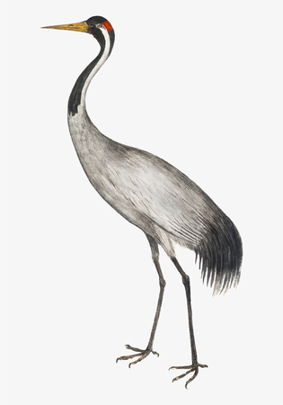 Vintage full length crane illustration