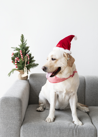 Cute Labrador Retriever wearing a Christmas hat