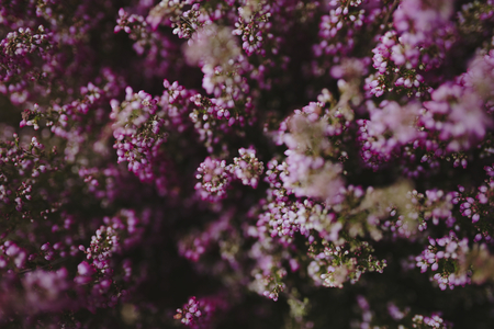 Pink heather flower bush background