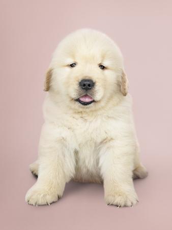 Portrait of an adorable Golden Retriever puppy Stock fotó