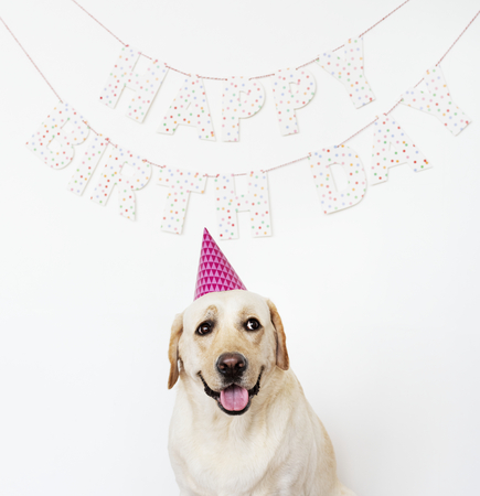 Cute Labrador Retriever with a party hat at a birthday party Stock Photo