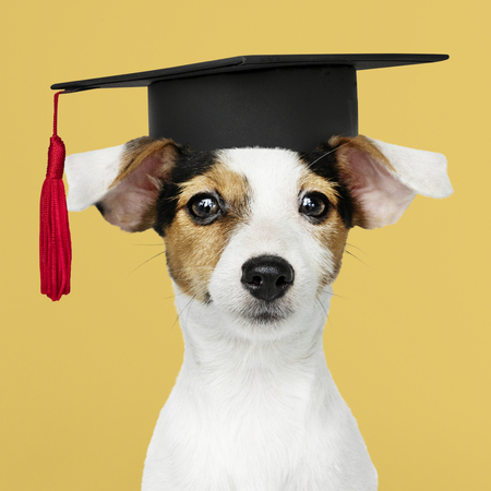 Cute Jack Russell Terrier in a graduation cap