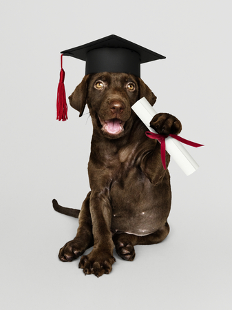 Cute chocolate Labrador Retriever in a graduation cap and holding a certificate roll