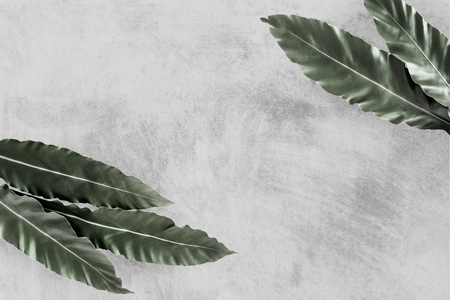 Bird's-nest fern on gray background