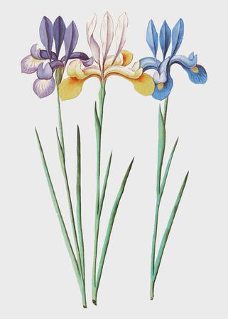 Vintage iris flower illustration in vector Иллюстрация