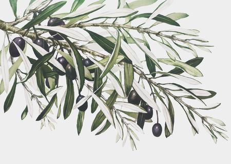Vecteur de branche d'olivier vintage