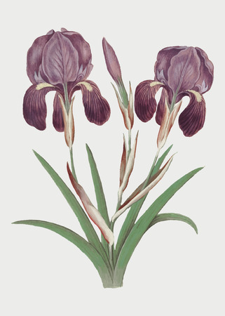 Vintage purple iris flower illustration in vector