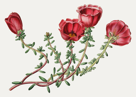 Vintage Dr. Gillies' purslane flower branch for decoration