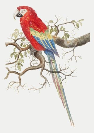Vintage scarlet macaw bird illustration vector Çizim