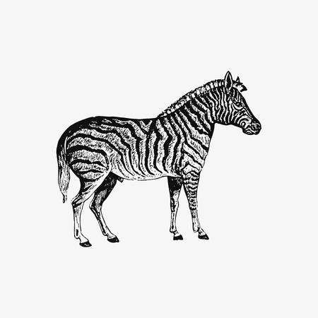 Drawing of zebra