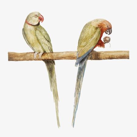 Vintage Alexandrine parakeet and red breasted parakeet illustration vector Illustration