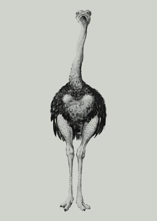 Vintage full length ostrich illustration vector