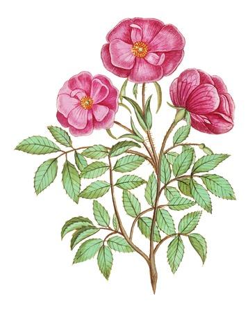 Vintage wild rose flower illustration in vector
