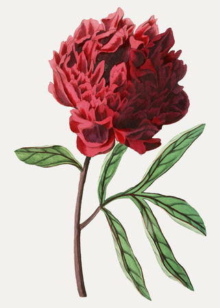 Vintage Pott's Chinese peony flower for decoration  イラスト・ベクター素材