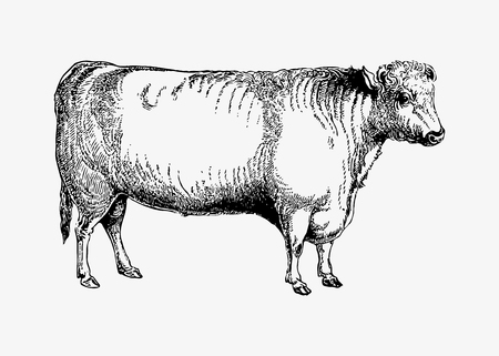 Drawing of shorthorn bull Ilustração