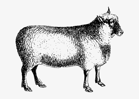 Drawing of sheep Illustration