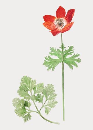 Vintage red anemone flower illustration in vector Illustration