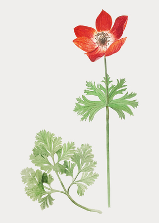 Vintage red anemone flower illustration in vector Çizim