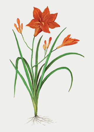 Vintage orange daylily flower illustration in vector