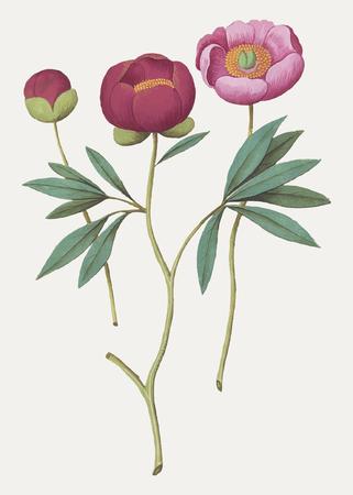 Vintage peony flower illustration in vector