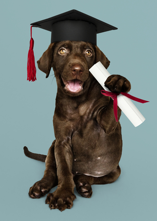 Cute chocolate Labrador Retriever in a graduation cap and holding a certificate roll