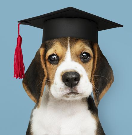 Cute Beagle puppy in a graduation cap Imagens - 116615234