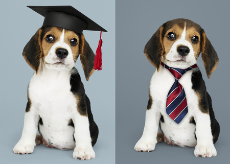 Cute Beagle puppies in graduation cap and a striped necktie