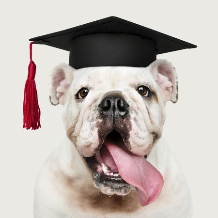 Cute white English Bulldog puppy in a graduation cap Banque d'images - 116615623